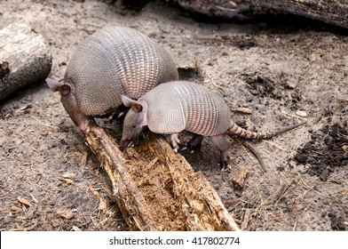 Mother armadillo and her baby rooting for bugs in a log.