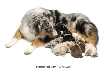 Mother Australian Shepherd with its 7 day old puppies suckling against white background