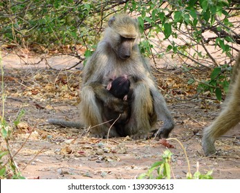 Mother Baboon with baby baboon