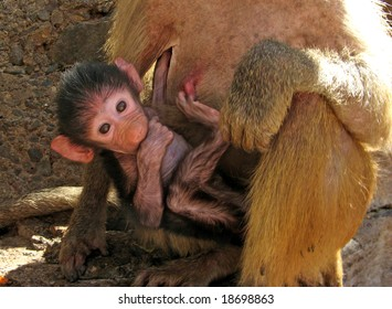 Mother baboon carrying her baby, he sucks his thumb