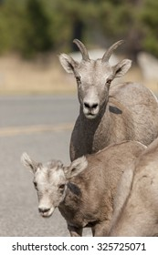 Mother and baby bighorn sheep near Thompson Falls, Montana.