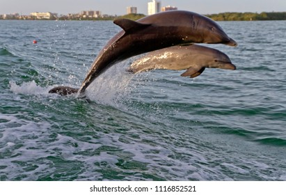A mother and baby bottlenose dolphins play together waters in the wake of a tugboat in Clearwater Bay, Florida