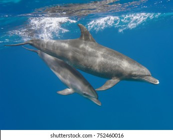 Mother and baby bottlenose dolphins swimming underwater in the sea