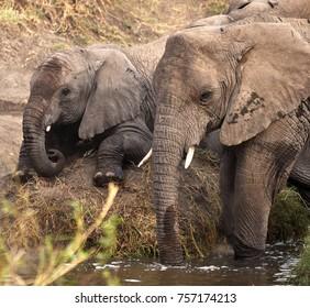 Mother and baby bush Elephants (Loxodonta africana). Serengeti National Park, Tanzania.