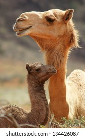 A mother and baby camel resting in the desert areas of the Middle East.