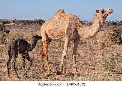 mother and baby camel in sahara