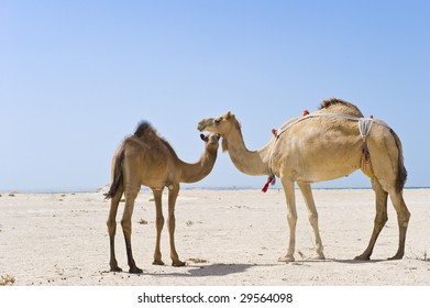 A mother and baby camel standing in the desert.