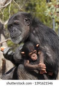 A mother and baby chimpanzee, common chimpanzee, robust chimpanzee, chimp, Pan troglodytes, species of great ape, an endangered species embrace, eating Monarto Zoo, Monarto, South Australia, Australia