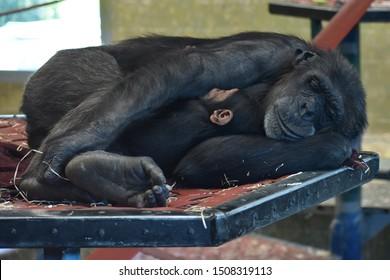 Mother and baby chimpanzee, common chimpanzee, robust chimpanzee, chimp, Pan troglodytes, species of great ape, endangered species embrace while sleeping Monarto Zoo, Monarto South Australia Australia