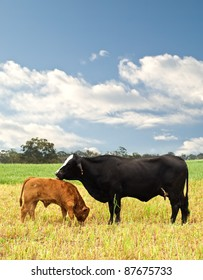 mother and baby cow Australian bred beef cattle on agricultural pasture