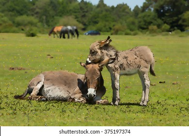Mother and baby donkey showing love and affection in the New Forest Hampshire England UK in the summer sunshine illustration