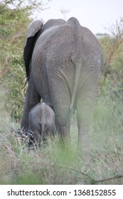 A mother and baby elephan walk in the bush in south africa