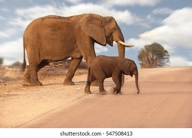 Mother and baby elephant crossing the road in South Africa