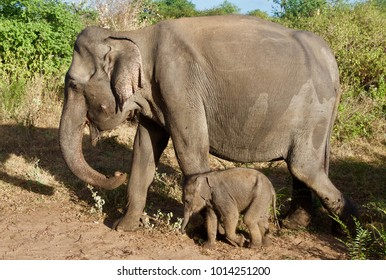 Mother and baby elephant in Udawalawe National Park, Sri Lanka