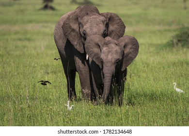 Mother and baby elephant walking in the grasses of the Serengeti