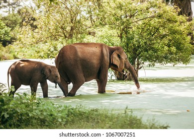 Mother and baby elephants go drink water from pond in national nature park Udawalawe, Sri Lanka