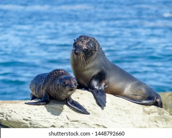 Mother and baby fur seals on rocks in Kaikoura New Zealand. Blue ocean backdrop, cute fur seals. Parenting seals.