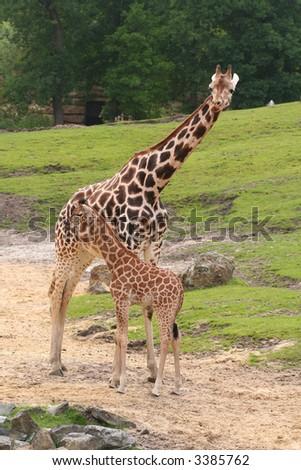 Mother Baby Giraffe Stock Photo Edit Now 3385762 Shutterstock