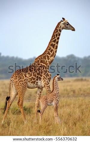 Mother Baby Giraffe Kenya Stock Photo Edit Now 556370632