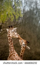 Mother and Baby Giraffe Kissing, Selective Focus, Africa