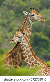 Mother & Baby Giraffe looking opposite ways and loving each other