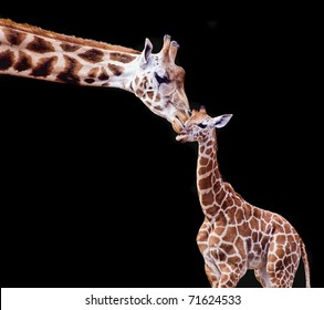Mother and Baby Giraffe on a Black Background