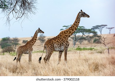 500 Baby Giraffe Pictures Royalty Free Images Stock Photos And