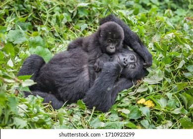 Mère et bébé Gorillas jouant dans un parc national sauvage Forêt verte de la République démocratique du Congo