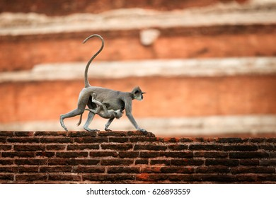 Mother with baby,  Gray langur, Semnopithecus entellus, monkey from Sacred City,  carrying a baby on her stomach, walking on wall against red Jetavanaramaya stupa. Scene from Anuradhapura, Sri Lanka.