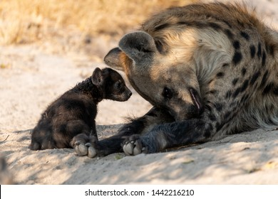 Mother and Baby Hyena at their whole interacting in botswana, Afrika at Moremi