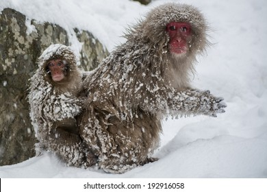 Mother and baby Japanese snow monkey