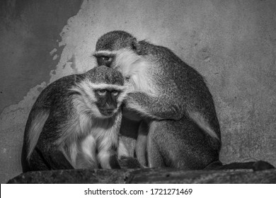 mother and baby Monkey in al ain zoo united arab emirates
