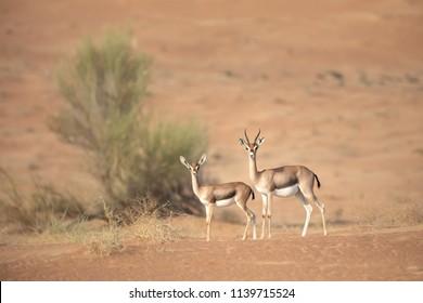 Mother and baby mountain gazelle in desert dunes. Dubai, UAE.