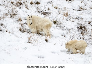 A mother and baby mountain goat look for food  on a Wyoming hillside.