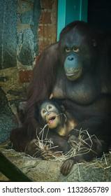 mother and baby orangutan eating
