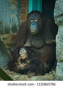 mother and baby orangutan looking up