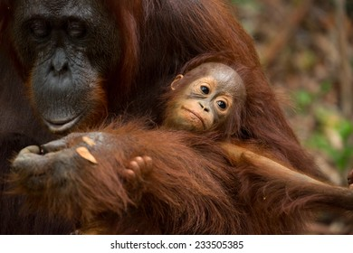 Mother and baby Orangutan in south Borneo Indonesia.