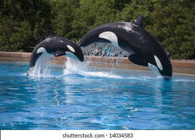 mother and baby orca  whales breaching