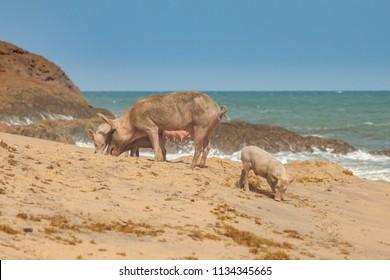 Mother and baby pigs on a tropical beach. Cape Coast, Ghana, Africa
