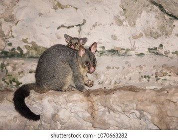 Mother and baby possum eating on the rocks
