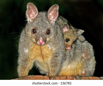 Mother and baby possums...