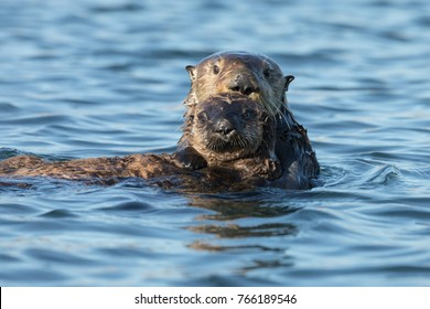 Mother and baby sea otter