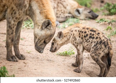 Mother and baby Spotted hyena in the Kruger National Park, South Africa.