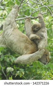 Mother and baby Three-toed Sloth (Bradypus variegatus) in Costa Rica rainforest