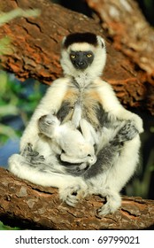 Mother and baby Verreaux's Sifaka in the Berenty Nature Reserve, southern Madagascar