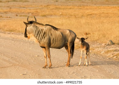 Mother and baby wildebeest In Amboseli Park, Kenya