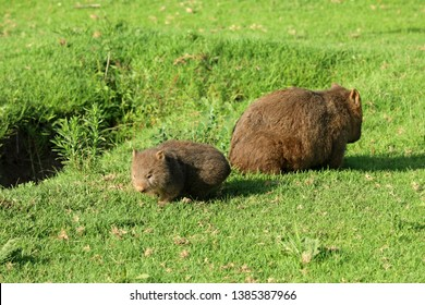 Mother and baby Wombat in Australia