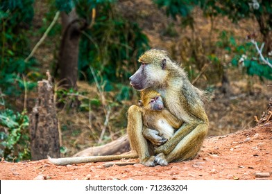 Mother and baby Yellow Baboon holding each other in Zambia Africa