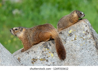A mother and baby Yellow-bellied Marmot in Big Cottonwood Canyon, Utah.
