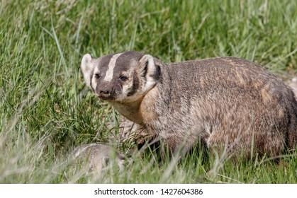 Mother Badger near her den